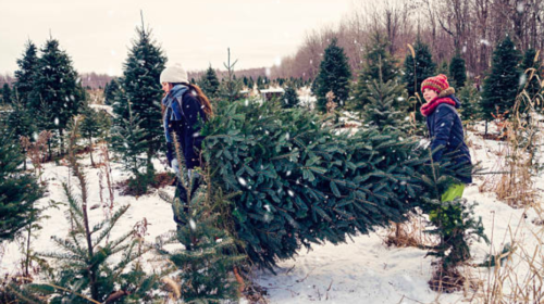 Christmas tree prices on the rise for first time in almost a decade
