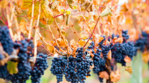 Court challenge launched by B.C. Wine Institute against Alberta wine ban