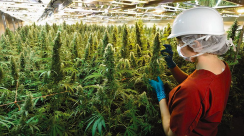 Pot producer Tilray links up with pharma firm Sandoz Canada