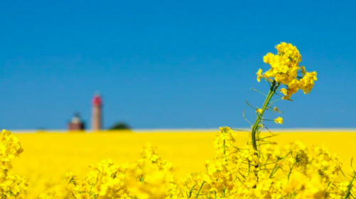 Major Canadian canola exporter to China says finding new markets not easy