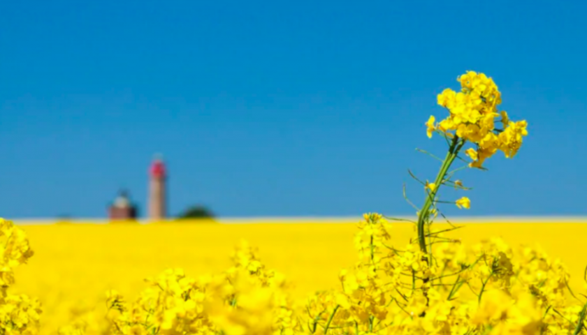 Chinese importers have stopped buying Canadian canola seed: Industry group