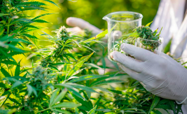 Cannabis company Cronos Group reports third-quarter revenue grew to $12.7M