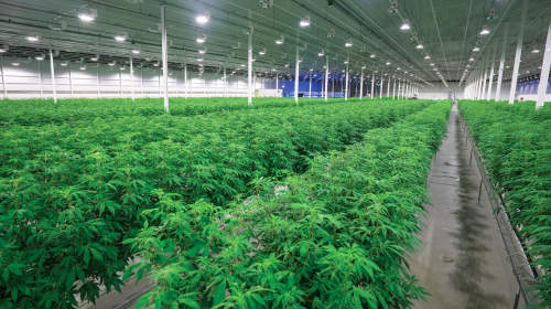Aurora Cannabis lays off 30 staff, 'indefinitely' pauses operations at Alta. facility