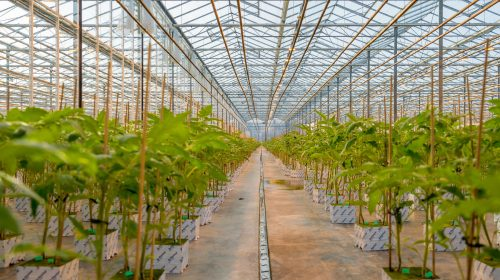 AgraFlora Organics reports anticipated revenue for summer 2021
