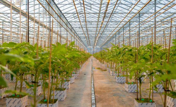 AgraFlora Organics reports anticipated revenue for summer 2021
