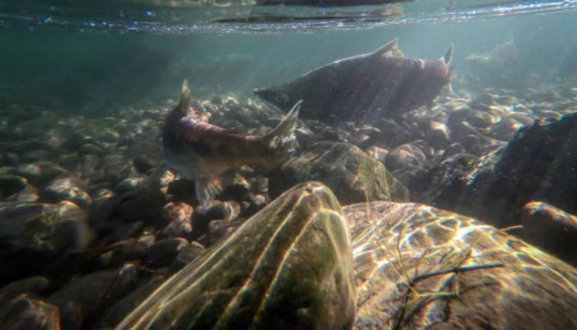 Canada launches transformative effort to save Pacific salmon