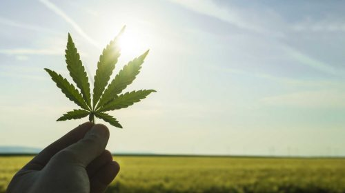 Diversifying Alberta's agricultural sector with hemp